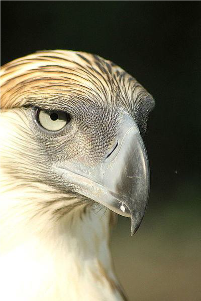 elegy for Phillipines eagle